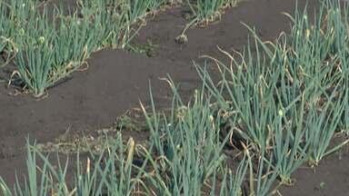 Tempo seco afeta produção rural em Mogi das Cruzes - Produtor fala sobre as dificuldades.