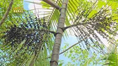 Parte 2: No Amapá, área de açaizeiros não explorados chama atenção de pesquisadores - Uma grande densidade de plantas foi encontrada.