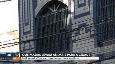 Por causa de queimadas animais invadem a área urbana - Muitos tem sido flagrados em Governador Valadares, no leste do estado.