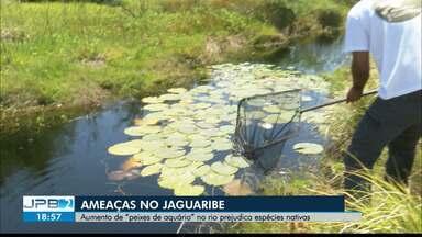 """Pesquisadores identificam aumento de """"peixes de aquário"""" no rio Jaguaribe - Podem prejudicar espécies nativas."""