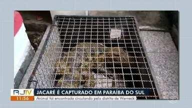Jacaré de quase dois metros é capturado pelos bombeiros em Paraíba do Sul - Animal foi visto por um morador que passava pela Estrada do Barreiro, no distrito de Werneck, e acionou o resgate.