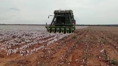Em Ibiaí, no Norte de Minas, a produção de algodão se destaca na região - Ibiaí tem se destacado na região pela produção de algodão. A atividade tem gerado emprego e renda para moradores da zona rural.