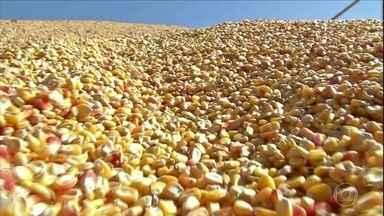 Alta do milho dificulta a vida de criadores de MT - Preço do grão no estado subiu mais de 130%, motivado pela alta do dólar e maior demanda do mercado externo.