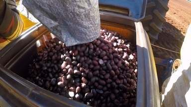 Estiagem atrasa início do plantio de amendoim - Sementes na plantadeira, é hora de cultivar amendoim. Na fazenda do produtor rural Elias Canhadas, no município de Paraguaçu Paulista, são 105 hectares de área destinada ao plantio.