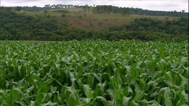 Agricultores de Minas Gerais iniciam o plantio do milho primeira safra - Expectativa no estado é de área plantada seja maior nesta temporada.