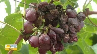 Produtores de uva e manga contabilizam prejuízos após chuva forte em Petrolina - Sindicato acredita que quase metade da produção foi perdida.