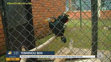 Tucanos resgatados de árvore são acolhidos na Universidade de Passo Fundo - Assista ao vídeo.