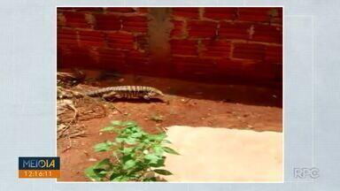Telespectadora registra lagarto no quintal - Envie seu vídeo para (43) 9 9972-5178.