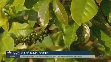 Pesquisadores buscam alternativas para o café resistir à falta de chuva - Pesquisadores buscam alternativas para o café resistir à falta de chuva
