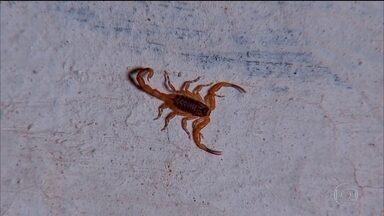 Infestação de escorpiões: perigo para quem vive perto de terrenos cheios de lixo - Uma picada de escorpião pode matar uma criança, é preciso tomar o soro contra o veneno o mais rápido possível.