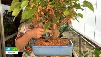 Viva o Verde: David Junior aprende a transformar amoreira em bonsai - O engenheiro florestal Murilo Soares dá dicas de como cuidar dessa pequena árvore pode viver até 500 anos