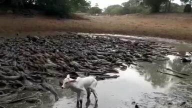 Animais estão entre os mais atingidos pela pior seca no Pantanal em décadas - Por causa da seca intensa, um açude secou e milhares de jacarés que buscavam refúgio no local ficaram presos no barro e o gado ficou sem água para beber.