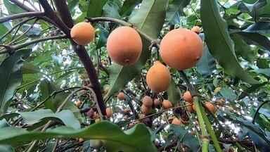 Produtores de Araçatuba apostam no cultivo de achachairu - É uma fruta agridoce e fácil de abrir, mas você com certeza vai estranhar o nome: achachairu. É originária da Bolívia. No Brasil, ela vem sendo cultivada faz pouco tempo no nordeste e no interior de São Paulo. A família de Renata Rezek planta há quatro anos em Araçatuba (SP).