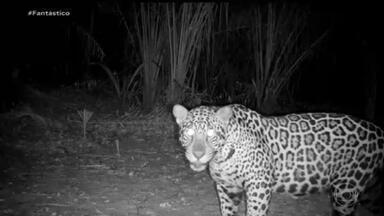Câmeras especiais flagram os animais que resistiram às queimadas no Pantanal - Fantástico voltou ao cenário desta tragédia ambiental que marcou o ano e mostra que a natureza está reagindo. E a recuperação só é possível por causa da ajuda incansável de voluntários e ativistas.