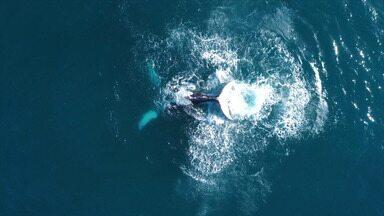 Pesquisa feita no litoral baiano sinaliza aumento da população de baleias jubarte - Levantamento do Projeto Baleia Jubarte aponta o aumento de 10% do número de nascimentos de filhotes.