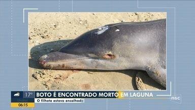 Filhote de boto é encontrado morto em Laguna, no Sul de SC - Filhote de boto é encontrado morto em Laguna, no Sul de SC
