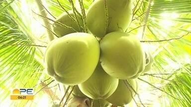 Produtores de coco estão otimistas com retomada de 2021 - O coronavírus não afetou a produção, mas fez vendas despencarem.