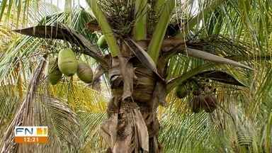 Quantidade irregular de chuvas afeta produção de coco no Oeste Paulista - Confira os destaques do noticiário rural na região de Presidente Prudente.