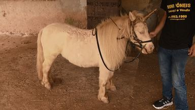 Mini pôneis são o xodó de criador de São José dos Pinhais - Crianças aprendem a cavalgar nos pequenos cavalos