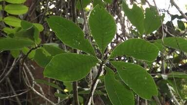 Exemplares de nova espécie de árvore são encontrados no extremo sul da Bahia - A planta, que ainda não tem nome popular, está sendo acompanhada por estudiosos.
