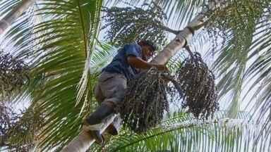 Série: Açaí da Amazônia - A fruta tem conquistado o paladar dos brasileiros e estrangeiros