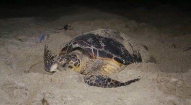 Biólogos monitoram nascimento de tartarugas marinhas nas praias do litoral do Piauí - Biólogos monitoram nascimento de tartarugas marinhas nas praias do litoral do Piauí
