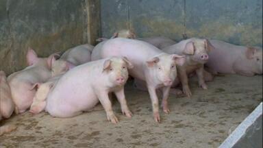 Criadores de suínos em MG têm começo de ano lento, mas expectativa é de aquecimento do mercado - Preços pagos pelo quilo do animal vivo está em queda desde o início de 2020. Cenário já era esperado, diz produtor de Patos de Minas.