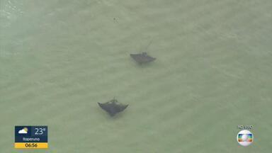 Arraias gigantes nadam na Praia da Reserva - Globocop flagrou os animais bem perto da arrebentação.