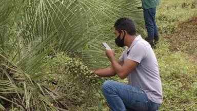 UFMG faz estudo para evitar a extinção do coquinho azedo - Palmeira, que só cresce espontaneamente, não tem sido tem sido reposta ao longo dos anos. Pesquisa faz trabalho de cultivo de plantas para evitar risco de extinção.