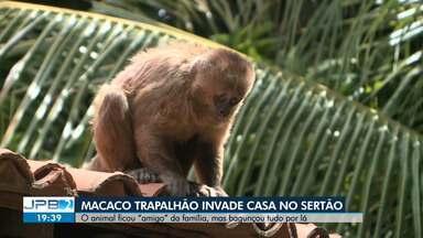 """Macaco trapalhão invade casa no Sertão da Paraíba - O animal ficou """"amigo"""" da família, mas bagunçou tudo por lá."""