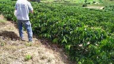 Cafeicultores têm que ficar atentos para realizar a última adubação da lavoura - Veja a seguir.