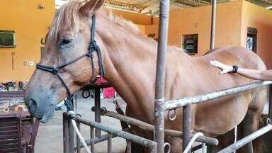 Égua fica prenha após tratamento com acupuntura, em Maricá - Início dos procedimentos foi mostrado no InterTV Rural, em fevereiro.