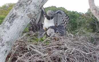 Terra da Gente mostra registro inédito de acasalamento de harpias no Sul da Bahia - A imagem foi captada por pesquisadores. A espécie é a maior águia das Américas e corre risco de extinção, principalmente na Mata Atlântica.