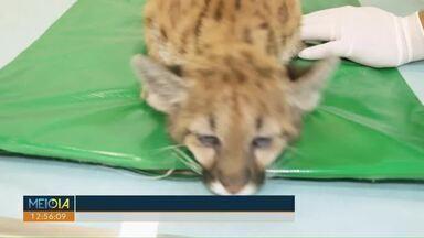 Ajude a escolher o nome da nova oncinha do zoológico de Cascavel - Vote e escolha se o felino será chamado Zoe, Kiara, Pandora ou Nala. O animal foi resgatado no sudoeste do estado.