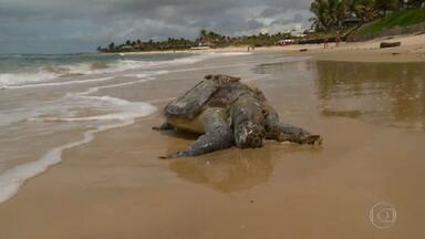Tartarugas aparecem mortas em praias tomadas por lixo no Nordeste - Ainda não se sabe se há relação com a aparição de cerca de quarenta toneladas de resíduos, inclusive de material hospitalar, no litoral do Rio Grande do Norte e da Paraíba. O lixo foi trazido pela maré.
