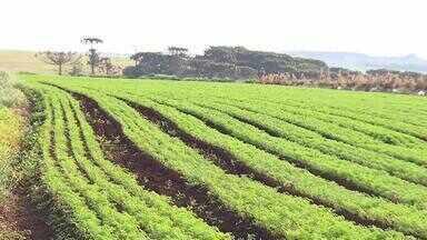 Terra fértil e solo mais solto favorece produção de cenoura em Marilândia do Sul - Marilândia do Sul é conhecida como a capital da cenoura