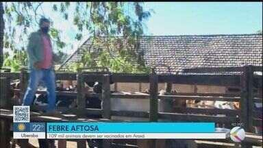 Em Araxá, 109 mil animais devem ser vacinados contra a febre aftosa - O Instituto Mineiro de Agropecuária (IMA) vai acompanhar vacinação em algumas cidades. Chefe do IMA em Araxá fala sobre o assunto.