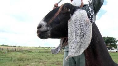 Fazenda foca na produção de genética para reprodução de caprinos no Piauí - Fazenda foca na produção de genética para reprodução de caprinos no Piauí