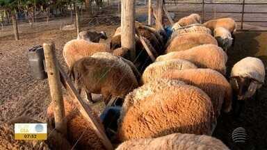 Apesar dos bons preços, produtores de reclamam do alto custo da produção de ovinos - Veja também informações sobre a campanha de recolhimento de embalagens vazias de agrotóxicos.