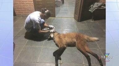 Lobo Guará é encontrado morto atropelado na rodovia Oswaldo Cruz - Confira a reportagem exibida pelo Link Vanguarda.