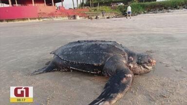 Confira as notícias que são destaque no G1 - Tartaruga ameaçada de extinção de quase 2 metros e 200 kg é achada morta.