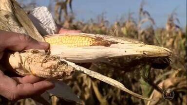 Agricultores têm perdas nas lavouras de milho em Minas Gerais - Em Uberaba, por exemplo, o produtor Pedro Donizete Alves perdeu 50% da sua produção, em uma área com 472 hectares, por causa da seca.