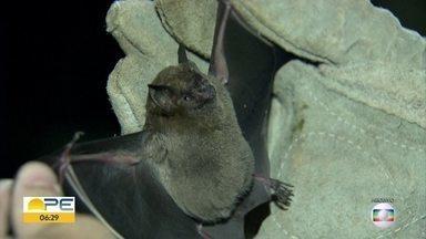 Saiba o que fazer em caso de mordida de morcego - Moradores no Recife reclamam da presença de morcegos em casas e apartamentos. Veja como evitar que eles entrem e quais os riscos das mordidas desses animais.