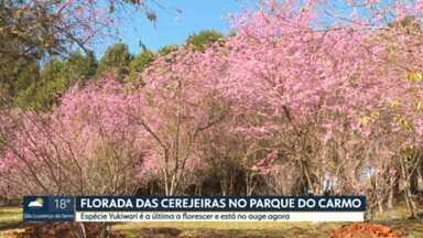 Espécie de cerejeira Yukiwari floresce no Parque do Carmo - Local abriga três espécies da árvore oriental que só floresce nessa época do ano