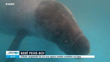 Filhote de peixe-boi recebe cuidados no Inpa - Filhote de peixe-boi recebe cuidados no Inpa