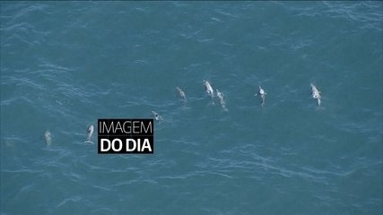 Imagens mostram golfinhos nadando no litoral de São Paulo