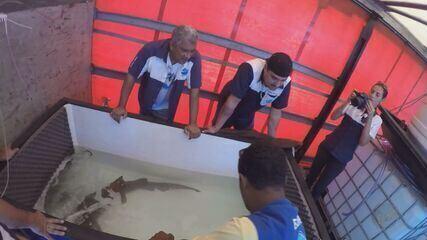 Tubarão que era mantido em aquário dentro de casa é resgatado em Ribeirão Preto
