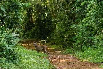 Suçuarana é registrada durante o dia no Parque Estadual Vassununga