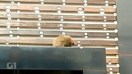Ouriço é resgatado na fachada de loja em avenida de Bauru