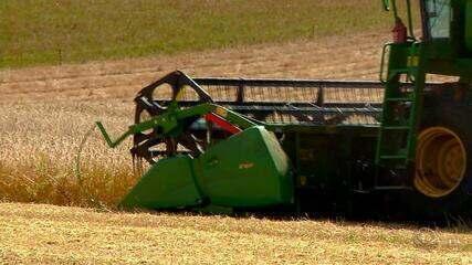 Clima desfavorável prejudica o trigo produzido durante o inverno no Rio Grande do Sul